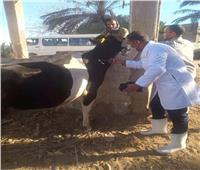 تحصين 22 ألف رأس ماشية في بني سويف ضد الحمى القلاعية والوادي المتصدع