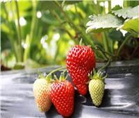 «الزراعة» تخفض سعر شتلة الفراولة المستوردة لـ 7 جنيهات دعما للمزارعين