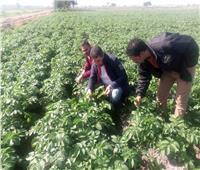 الزراعة: لجان للمرورعلى حقول البطاطس وتوصيات لحمايتها من الطقس السيئ