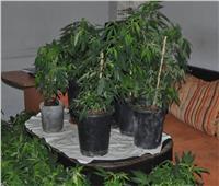 إحالة مصري يحمل جنسية أجنبية للجنايات لزراعة «الماريجوانا» بشقته بالجونة