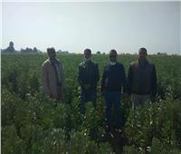 توصيات «القومية للنهوض بالمحاصيل» لمزارعي قنا بسبب محصول الفول