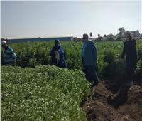 بسبب الطقس.. الزراعة تطمئن على محصولي القمح والفول البلدي بالشرقية | صور