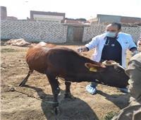 تحصين 52 ألف رأس ماشية ضد «الحمى القلاعية والوادي المتصدع» بالفيوم 