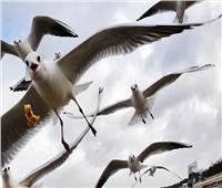 «طيور النورس» لا تستطيع الطيران في البحرين لهذا السبب