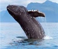 رئيس «الإنقاذ البحري» سابقا: الحيتان مسجلة على قوائم الانقراض   فيديو