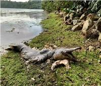 العثور على سمكة «التمساح» في سنغافورة