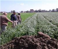 توصيات فنية من «زراعة المنوفية» لجودة محصول القمح