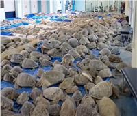 إنقاذ آلاف السلاحف البحرية من الموت برداً