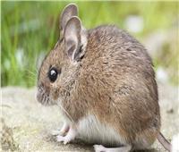 سر انتشار الفئران في ألمانيا