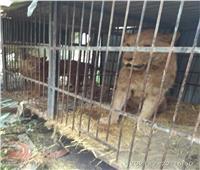 ضبط 22 حيوانا بريا في مزرعة غير مرخصة بالمنصورية  صور