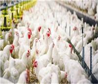 تحصين 877 ألف طائر ضد «أنفلوانز الطيور» خلال يناير