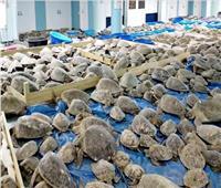 إنقاذ 4500 سلحفاة بحرية من «الصعق البارد».. فيديو