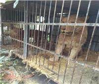 البيئة: «الزراعة» هي الجهة المسئولة عن وضع ضوابط تربية حيوان بري