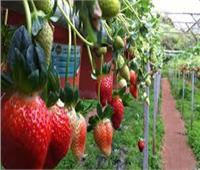 12 نصيحة لمزارعي الفراولة لحماية المحصول من الصقيع والأمطار
