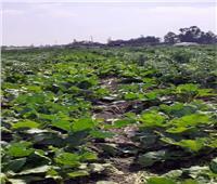 الحملة القومية للنهوض بالمحاصيل البقولية تقدم نصائحها للمزارعين بالإسماعيلية