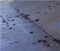فيديو | مئات الخفافيش النافقة تغطي شوارع هيوستن في تكساس