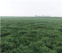 الحملة القومية للنهوض بالمحاصيل البقولية تقدم نصائحها لمزارعي العدس