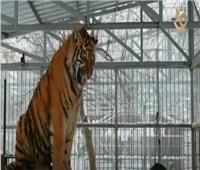 «نمر» بموهبة نادرة يطرب زوار حديقة الحيوانات في سيبيريا.. فيديو