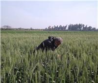 خطه لحماية محصول القمح من الآفات بالمنوفية
