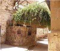 هنا ناجى موسى ربه.. حكاية شجرة العليقة المقدسة بسيناء
