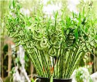 نبات «البامبو».. يجلب الحظ السعيد وينمو في ضوء الشمس