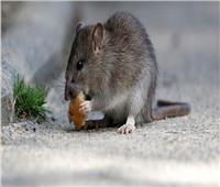 «الفئران» تجتاح بريطانيا بسبب «كورونا»