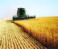 «الزراعة» تكشف عن زيادة إنتاج محصول القمح