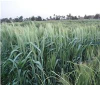 «الزراعة» تصدر نشرة بالتوصيات الفنية لمزارعي القمح خلال مارس