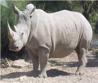 «التخصيب الصناعي» آخر فرصة لإنقاذ «الكركدن» من الانقراض