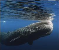 العثور على «حوت عنبر» نافق وزنه 40 طنًا على سواحل الصين