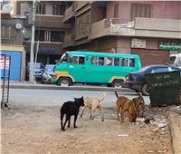 الكلاب الضالة تتجول بالشوارع الرئيسية بمدينة شبين الكوم