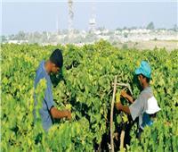 تأسيس شركة مساهمة «مصرية - سودانية» لتسمين وإنتاج الماشية