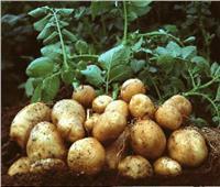 البطاطس المصرية تحتل المركز الثاني بين الصادرات وتغزو أسواق العالم وتعود لروسيا قريباً