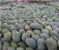«الزراعة» تقدم 14 توصية لمزارعي المانجو لتنفيذها خلال مارس