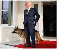 طرد كلبي بايدن من البيت الأبيض بعد «حادث عض»