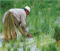 نقيب الفلاحين: قرار الحكومة بشأن غرامة زراعة الأرز يقلل أعباء المزارعين