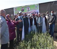 توزيع ٥٠ ألف شتله زيتون على مزارعى الصحراء..صور