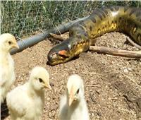 فرخة تواجه ثعبان ضخم لحماية صغارها |فيديو