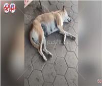 «مجزرة كلاب» بالإسكندرية.. تسميم الطعام وتقديمه للحيوانات الضالة  فيديو