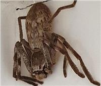 امرأة العنكبوت تتعرض للتحفيل على تويتر باستراليا