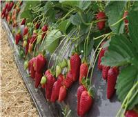 «موسم الفراولة».. تحتل المركز الـ 4 بين الصادرات الزراعية