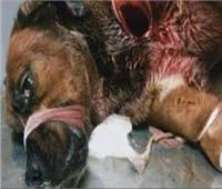 سيدة توثق لحظة تعذيب كلب بـ «مقطع فيديو».. والأمن يضبط المتهم
