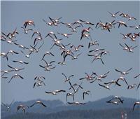 برصاص الصيادين.. نفوق «طيور النحام»بالتسمم في بحيرة يونانية