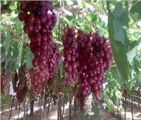 «الزراعة» تقدم نصائح هامة لمزارعي الموالح والعنب خلال الطقس الحار