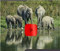 فيديوجراف| أسرار مثيرة من عالم الأفيال.. يبكي ويتألم مثل الإنسان