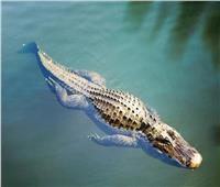 تمساح يأكل سمكة قرش ويبتلعها مرة واحدة