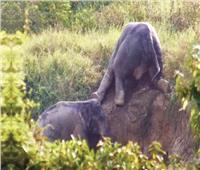 فى تايلاند ..الفيل خرج من «الحفرة»