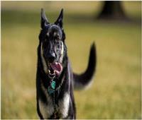 «ميجور» الكلب الرئاسي يهاجم شخصا بالحديقة الجنوبية للبيت الأبيض