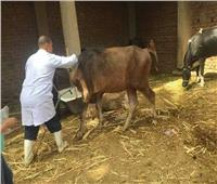 حملةلتحصين الماشية ضد الجلد العقدي في قنا بالمنازل