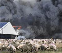 حريق بمزرعة في ألمانيا ونفوق أكثر من 55 ألف خنزير